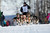 Louie Ambrose's team charges down the trail at the re-start of the Iditarod dog sled race in Willow, Alaska  March 3, 2013. From Willow, the race runs for almost 1000 miles as it crosses the state. 