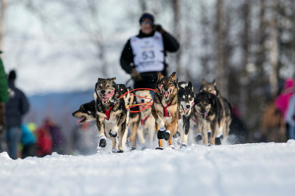 Description of . Louie Ambrose's team charges down the trail at the re-start of the Iditarod dog sled race in Willow, Alaska  March 3, 2013. From Willow, the race runs for almost 1000 miles as it crosses the state.   REUTERS/Nathaniel Wilder