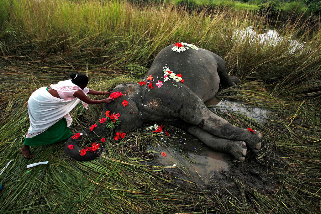 Description of . In this Sept. 1, 2012 file photo, a villager offers flowers to a female adult elephant lying dead on a paddy field in Panbari village, about 50 kilometers (30 miles) east of Gauhati, India. The elephant was hit by a train and killed while crossing railway tracks with a herd of wild Asiatic elephants. (AP Photo/Anupam Nath, File)