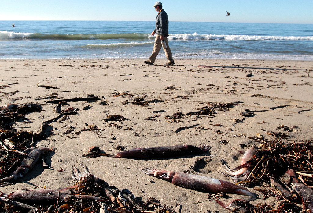 Description of . Thousands of dead Humboldt Squid wash up on Rio Del Mar State Beach near Aptos, in Santa Cruz County California on December 10, 2012. Photo by Shmuel Thaler/Santa Cruz Sentinel