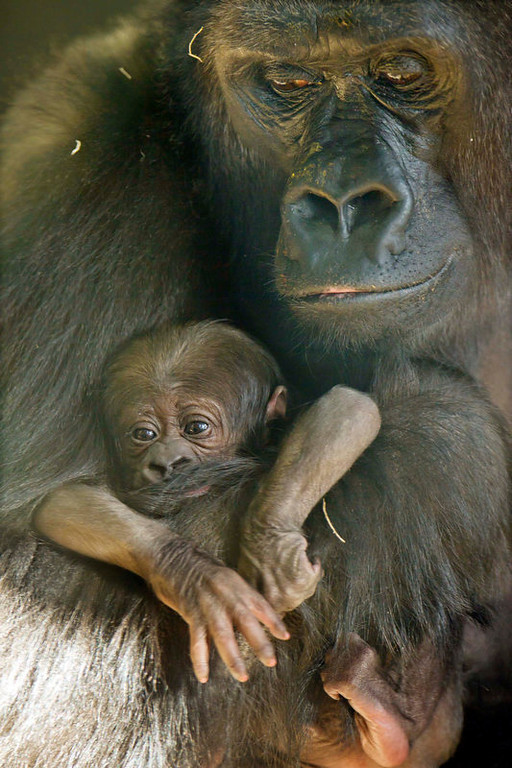 Description of . Western Lowland Gorilla mother Bana hold her new her baby which was born on Nov. 16, 2011. The baby which has yet to be named joins a troop of seven Western Lowland Gorillas at the zoo. The newborn girl is the first of this critically endangered species to be born at the zoo since 2005. (AP Photo/ Lincoln Park Zoo, Todd Rosenberg)