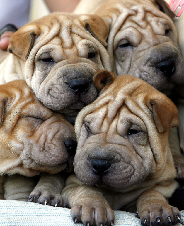 Description of . Chineses Shar-Pei puppies are displayed for sale during the International Spring  Dog Show  in Havana,Cuba, Thursday, April 20,2006. More than 200 dogs of different countries are competing in the dog show, which ends Sunday.(AP Photo/ Javier Galeano)