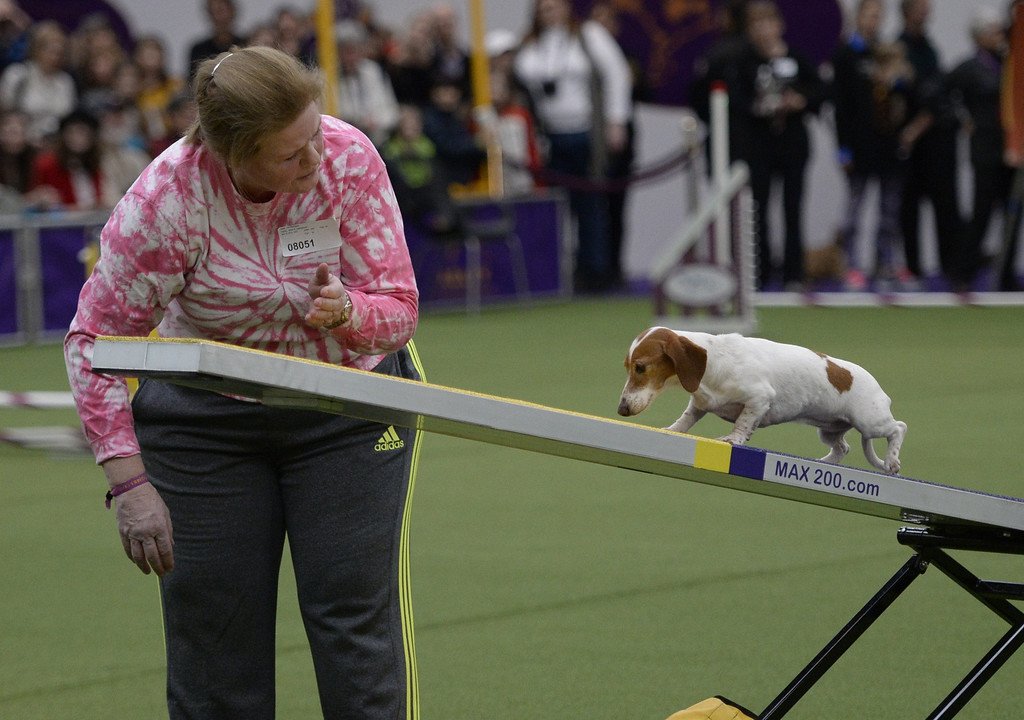 Description of . A Spaniel in the Agility Ring during the first-ever Masters Agility Championship on February 7, 2014 in New York at the 138th Annual Westminster Kennel Club Dog Show. Dogs entered in the agility trial will be on hand to demonstrate skills required to negotiate some of the challenging obstacles that they will need to negotiate.      TIMOTHY A. CLARY/AFP/Getty Images