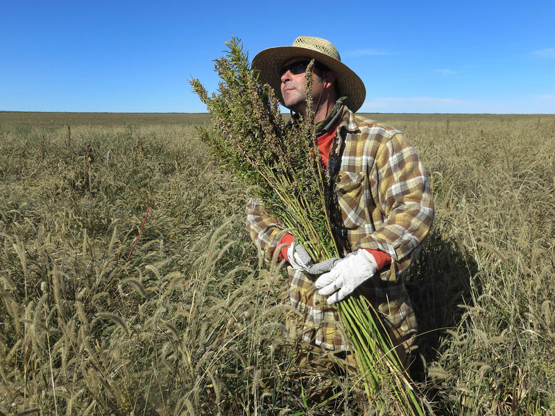 colorado-hemp-harvest-001.JPG