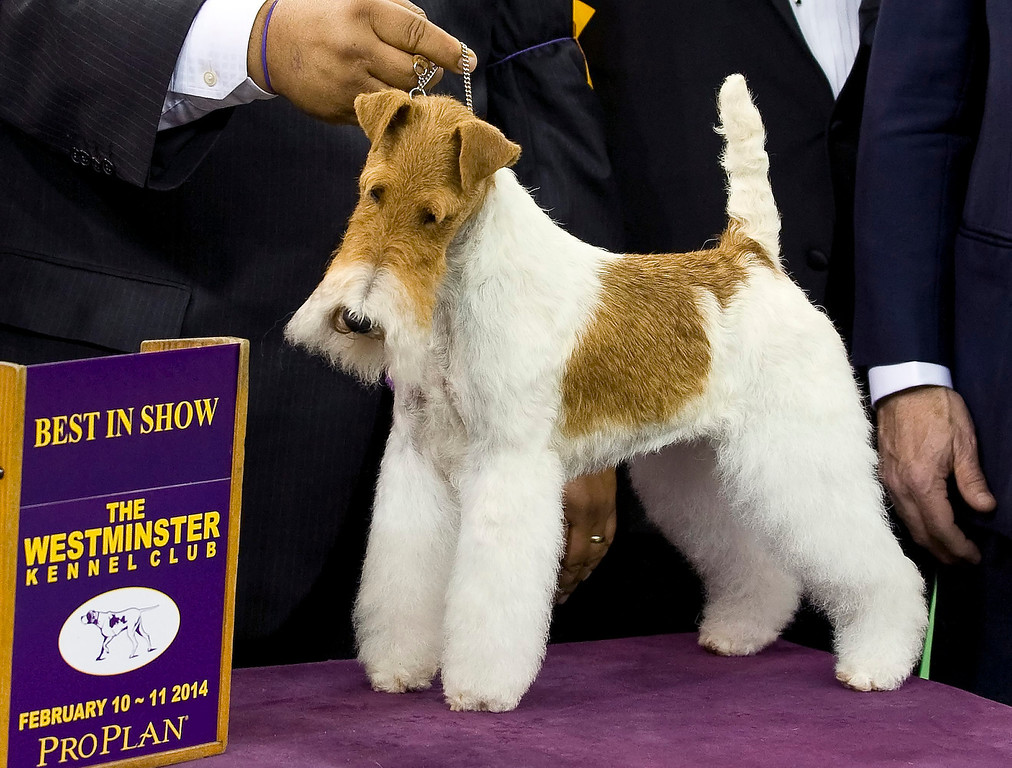 Description of . Best in Show winner Sky, a Wire Fox Terrier poses for photos at the 138th Westminster Kennel Club Dog Show in New York, New York, USA, 11 February 2014. The annual dog show, which features dogs from all over the United States and around the world, is taking place on 10-11 February 2014.  EPA/STEPHEN CHERNIN
