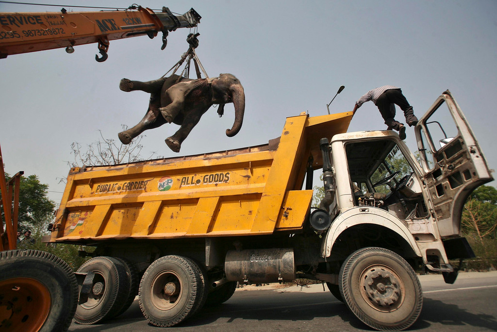Description of . A crane removes the carcass of a 40-year-old elephant called Chanchal after it was hit by a truck and killed at the Noida expressway on the outskirts of New Delhi June 29, 2012. Chanchal was a pet kept by a resident. REUTERS/Parivartan Sharma