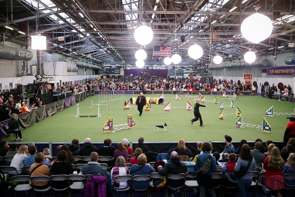 . Spectators watch as Abbie, a rat terrier, and her handler Gayle Capen navigate the jumpers course during the Masters Agility Championship at Westminster staged at Pier 94, Saturday, Feb. 8, 2014, in New York. The competition marks the first time mixed-breed dogs have appeared at Westminster since early in the show\'s 138 years. (AP Photo/John Minchillo)