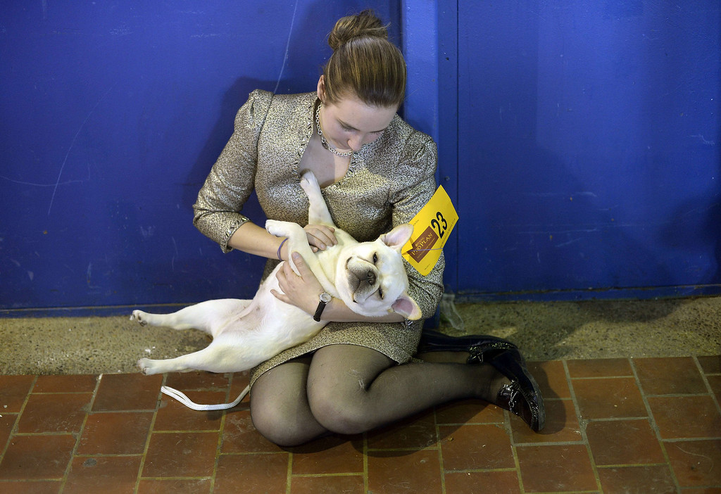 . Amanda Mcallister and Laurel the French Bulldog play in the benching area at Pier 92 and 94 in New York City  for the first day of competition at the 138th Annual Westminster Kennel Club Dog Show February 10, 2014. The Westminster Kennel Club Dog Show is a two-day, all-breed benched  show that takes place at both Pier 92 and 94 and at Madison Square Garden in New York City .     TIMOTHY CLARY/AFP/Getty Images