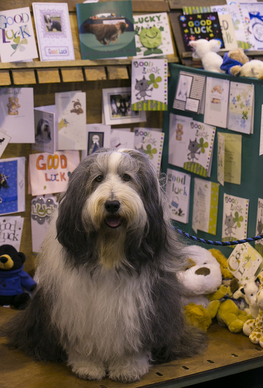 Description of . Braur, a Bearded Collie dog sits in his card adorned kennel on the first day of Crufts dog show at the NEC on March 6, 2014 in Birmingham, England. Said to be the largest show of its kind in the world, the annual four-day event, features thousands of dogs, with competitors traveling from countries across the globe to take part. Crufts, which was first held in 1891 and sees thousands of dogs vie for the coveted title of 'Best in Show'.  (Photo by Matt Cardy/Getty Images)