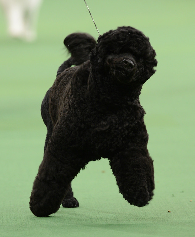 Description of . A Portuguese Water Dog was the winner of the Working Group during the Westminster Kennel Club Dog Show February 12, 2013 at Madison Square Garden in New York.  STAN HONDA/AFP/Getty Images