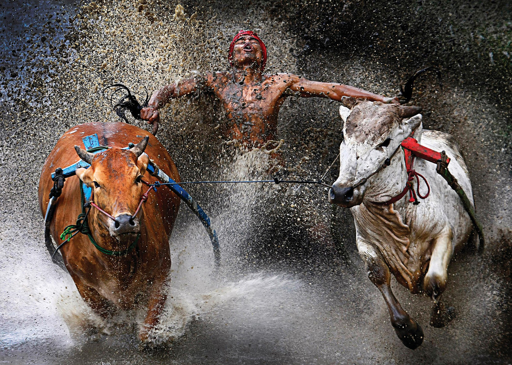 Description of . World Press Photo 1st prize Sports Action Single by Wei Seng Chen, Malaysia, a jockey, his feet stepped into a harness strapped to the bulls and clutching their tails, shows relief and joy at the end of a dangerous run across rice fields. The Pacu Jawi (bull race) is a popular competition at the end of harvest season keenly contested between villages in Batu Sangkar, West Sumatra, Indonesia, Feb. 12, 2012. (AP Photo/Wei Seng Chen)