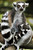 Flossie, an adult female ring tailed Lemur feeds one of her three-month-old babies Wednesday, July 13, 2005 at the Singapore Zoo.  Flossie and an adult male, Ike, who like the lemur stars of the animated film