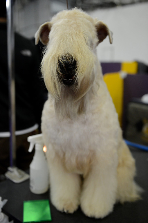 Description of . Paisley, a Wheaten Terrier, sits on a grooming table before judging at the Westminster Kennel Club Dog Show February 12, 2013 in New York.  STAN HONDA/AFP/Getty Images
