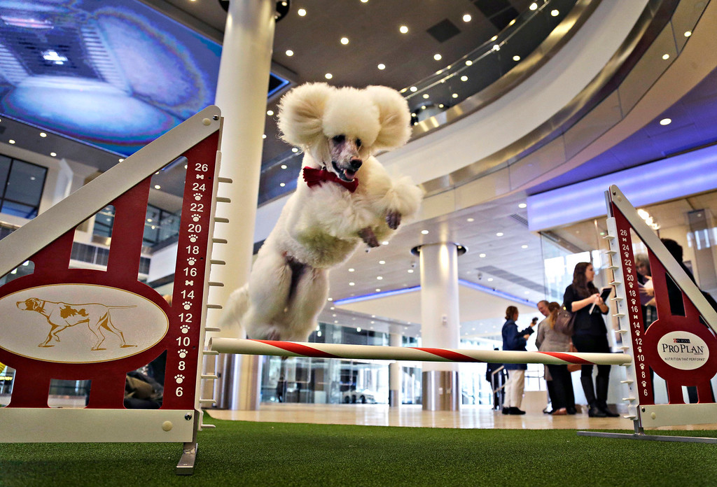 Description of . Callia, a standard poodle, demonstrates her mastery of an agility test during a news conference in New York, Wednesday, Jan. 15, 2014. For the first time ever, the Westminster Dog Show will include an agility competition, open to mixed breeds as well as purebred dogs.  (AP Photo/Seth Wenig)