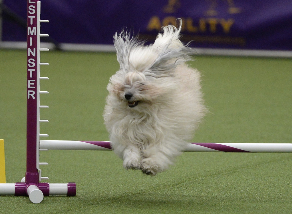 Description of . A Havanese in the Agility Ring during the first-ever Masters Agility Championship on February 7, 2014 in New York at the 138th Annual Westminster Kennel Club Dog Show. Dogs entered in the agility trial will be on hand to demonstrate skills required to negotiate some of the challenging obstacles that they will need to negotiate.      TIMOTHY A. CLARY/AFP/Getty Images
