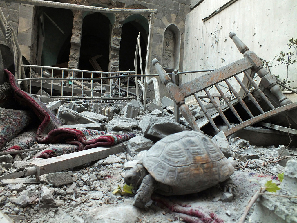 Description of . An abandoned pet tortoise walks on the debris of a damaged house in the neighborhood of old Homs September 9, 2012. REUTERS/ Yazen Homsy