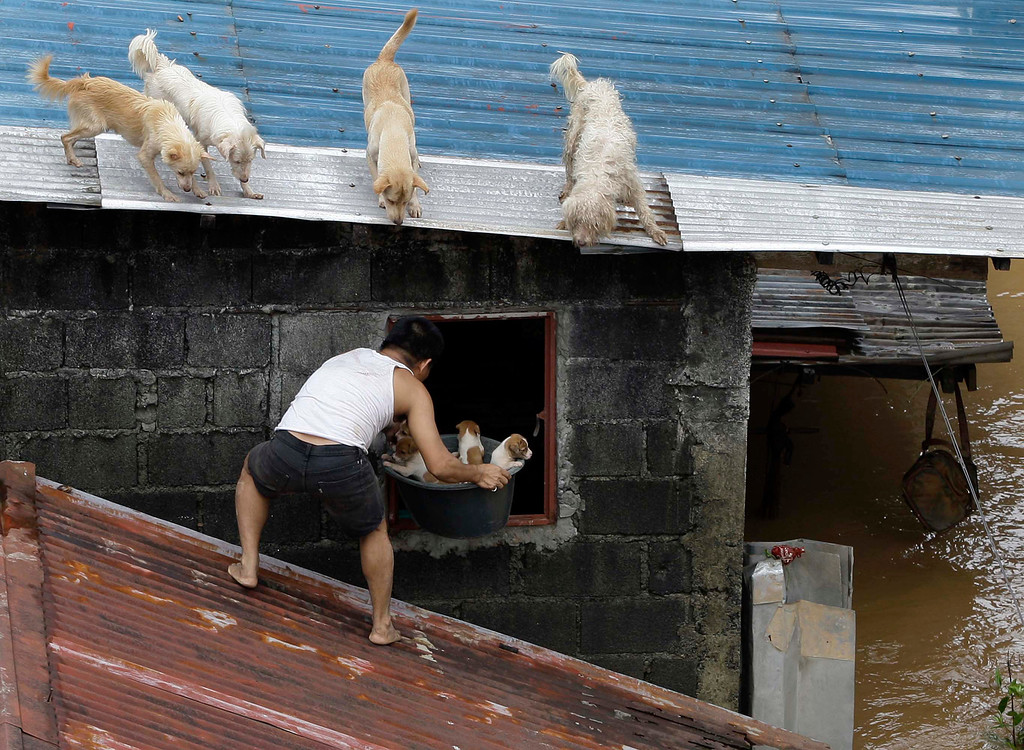 Description of . In this Aug. 8, 2012 file photo, a man carries puppies back inside their house as other dogs stay on the roof at a flooded area in Marikina City, east of Manila, Philippines. Widespread flooding that killed at least 11 people, battered a million others and paralyzed the Philippine capital began to ease as cleanup and rescue efforts focused on a large number of distressed residents, some still marooned on their roofs. (AP Photo/Aaron Favila, File)