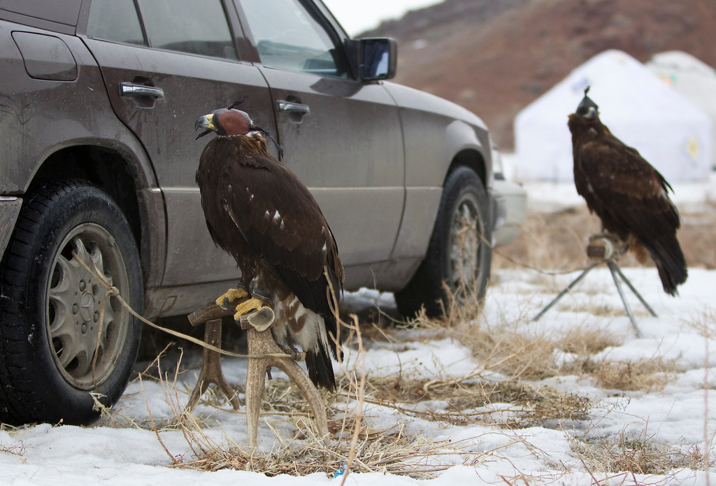 Description of . Tame golden eagles are tethered to car before an annual hunting competition in Chengelsy Gorge, some 150 km (93 miles) east of Almaty February 22, 2013. Picture taken February 22, 2013.  REUTERS/Shamil Zhumatov