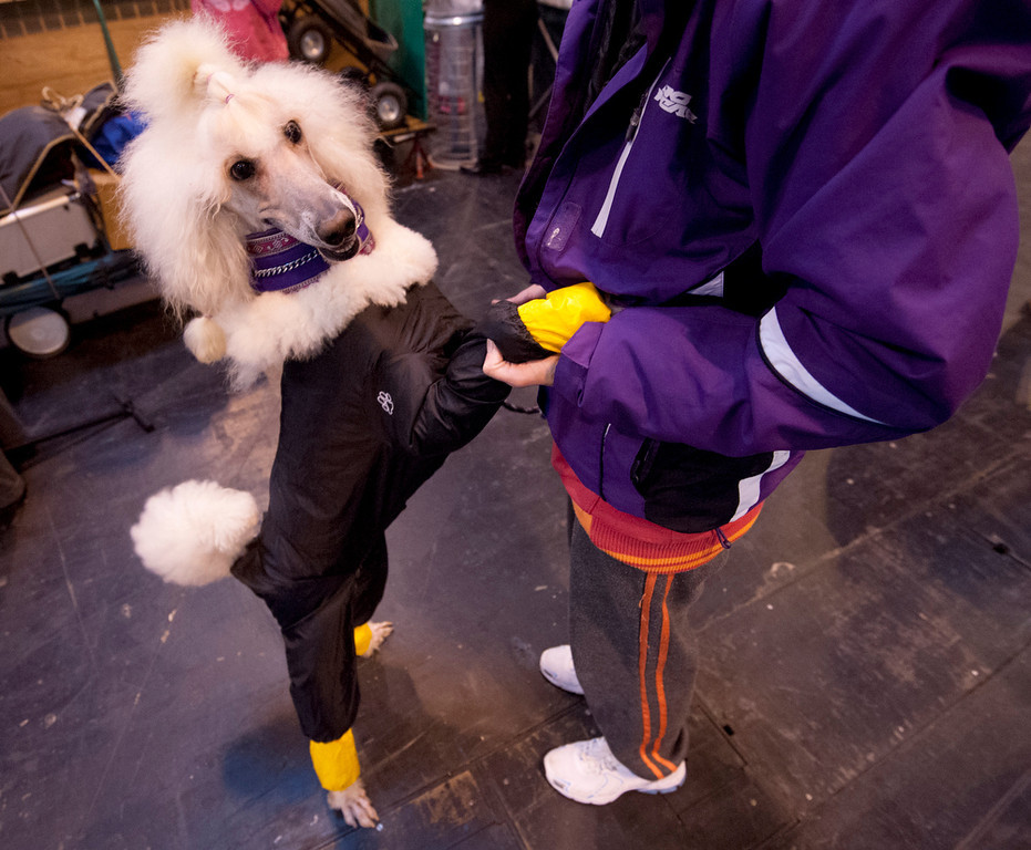 Description of . A Standard poodle wearing a waterproof suit greets her owner during the second day of the Crufts dog show in Birmingham, in central England on March 8, 2013. The annual event sees dog breeders from around the world compete in a number of competitions with one dog going on to win the