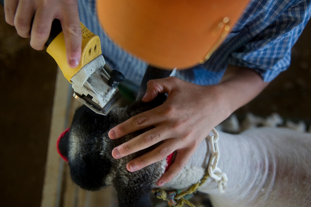 . David Ginther, 14, shaves one of his sheep on Wednesday, July 31 at the Adams County Fair  in Brighton, CO. Ginther never names any of his sheep, just keeps track of them by number. (Photo By Grant Hindsley/The Denver Post)