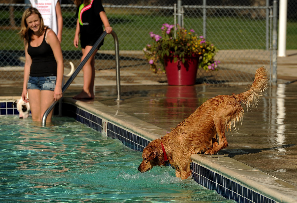 . Erin Webster\'s dog Darla is hesitant to dive in the water after a ball at the pool at the Kiwanis Pool in Northglenn, CO on September 2, 2013.  Lucky dogs were invited to swim at the Kiwanis Pool before it gets drained for the summer.  In addition to swimming, dogs enjoyed games, contests, treats and running around off leash with other dogs.  The price of entry was $5 which benefits the pool.  This is the first year Northglenn has offered the pool to the dogs.  Photo by Helen H. Richardson/The Denver Post