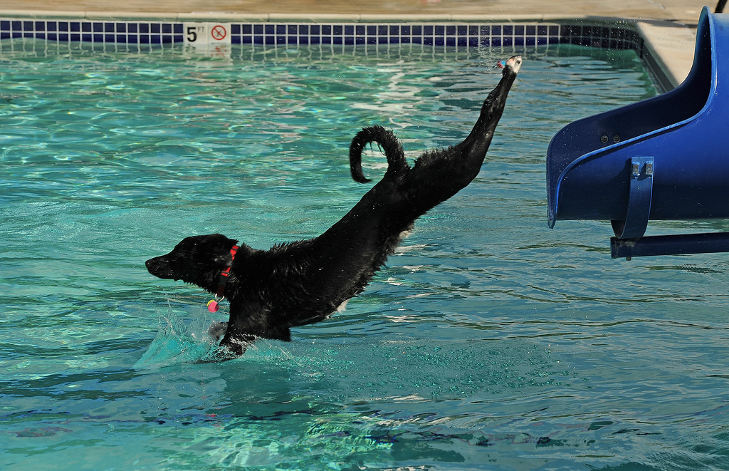 . Juno, a 2 year old lab mix, couldn\'t get enough of the pool and the pool toys as he makes an almost perfect dive into the pool after his owner, Jeanette Smith, tosses a toy from the top of a slide and Juno goes flying down after it in the pool at the Kiwanis Pool in Northglenn, CO on September 2, 2013.  Lucky dogs were invited to swim at the Kiwanis Pool before it gets drained for the summer.  In addition to swimming, dogs enjoyed games, contests, treats and running around off leash with other dogs.  The price of entry was $5 which benefits the pool.  This is the first year Northglenn has offered the pool to the dogs.  Photo by Helen H. Richardson/The Denver Post