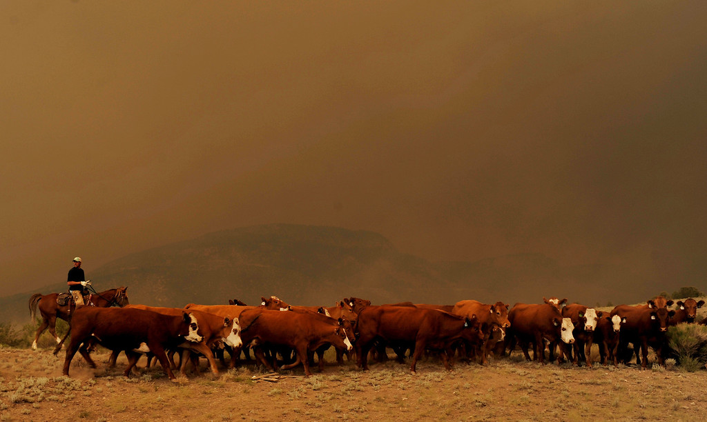 . A rancher herds his cows through the smokey conditions around the West Fork Complex fire near South Fork, Colorado. (Photo By Hyoung Chang/The Denver Post)