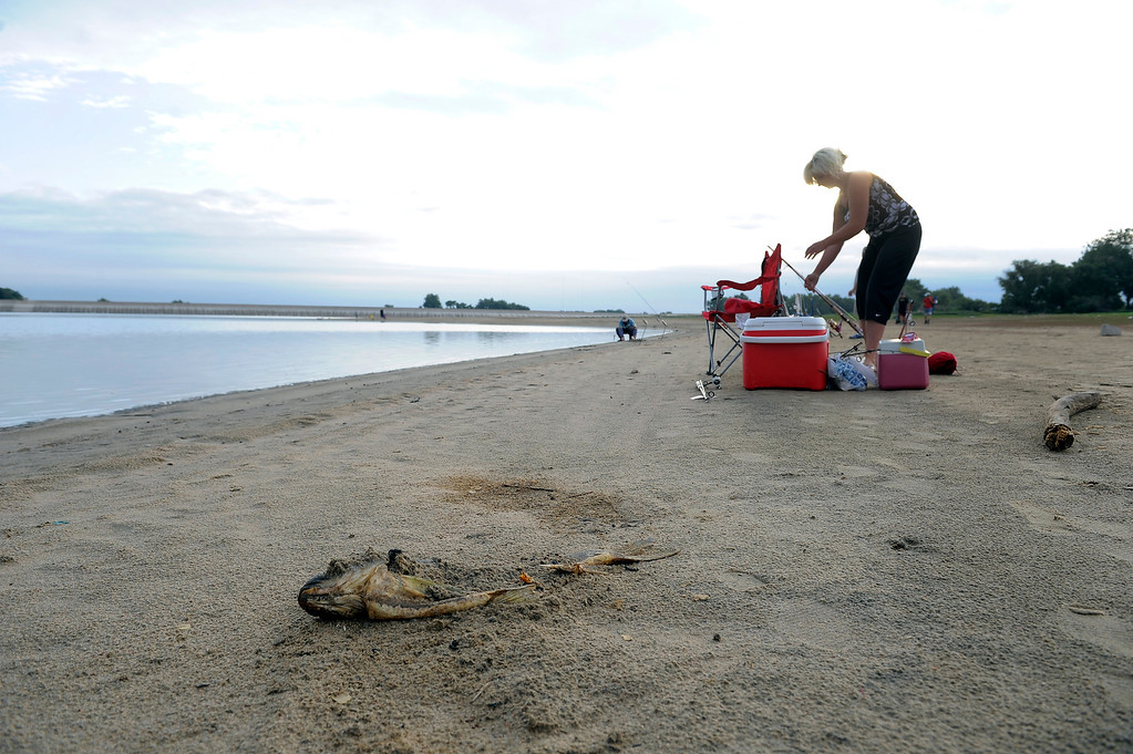 . Jeannetta Kamberi gets her gear in order at Barr Lake September 1, 2013 to get in some fishing with friends and family. Some fish weren\'t so luck as this was was washed up on shore. The draught conditions on the eastern plains are causing farmers to call on the water stored in Barr Lake. Good news for anglers with an appetite: As the water is drawn down to about a quarter of what\'s normally stored there, anglers can fish without limits with a license. (Photo by John Leyba/The Denver Post)