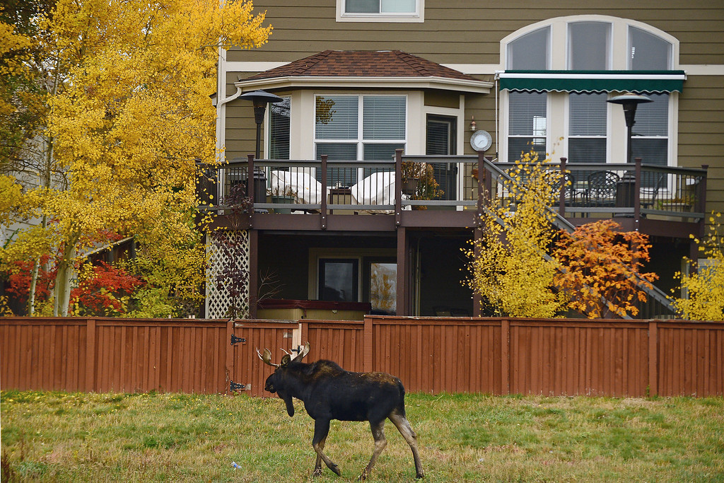 . A young bull moose passes large homes along Newlin Gulch Trail in the Stonegate subdivision in in Parker, Co on October 28, 2013. Wildlife officials and Douglas County Sheriff\'s are keeping a close eye on the moose, which has been seen in the area over the past two weeks. They are also keeping a close watch as more and more people come out to take a look at the unusual visitor to the suburban neighborhood. Wildlife officers hope the moose will find its way out of the densely populated neighborhood for it\'s own safety as well as the safety of residents.   (Photo By Helen H. Richardson/ The Denver Post)