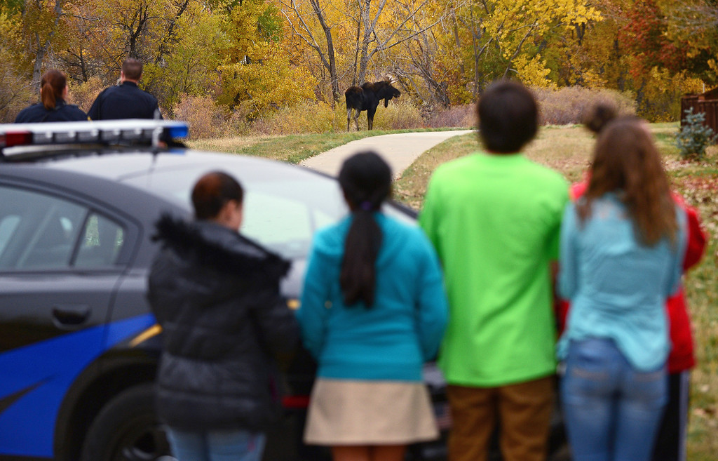 . Douglas county sheriff deputies, local kids and residents watch a young bull moose as he eats and meanders in the trees along Newlin Gulch Trail in the Stonegate subdivision in in Parker, Colorado.     (Photo By Helen H. Richardson/ The Denver Post)