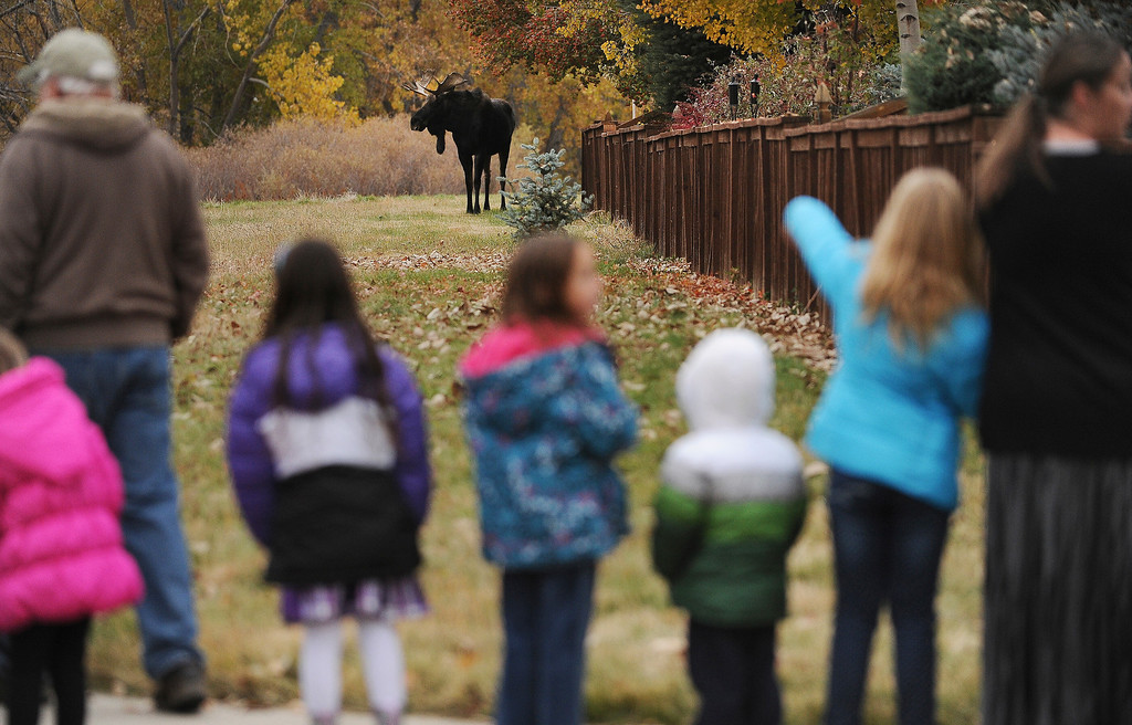 . PARKER, CO - OCTOBER 28:  Local kids and residents watch a young bull moose as he eats and meanders in the trees along Newlin Gulch Trail in the Stonegate subdivision in in Parker, Co on October 28, 2013.  Wildlife officials and Douglas County Sheriff\'s are keeping a close eye on a young bull moose that has been seen for the past two weeks.  They are also keeping a close watch as more and more people come out to take a look at the unusual visitor to the suburban neighborhood. Wildlife officers hope that come dark the moose will find it\'s way out of the densely populated neighborhood for it\'s own safety and the residents as well.    (Photo By Helen H. Richardson/ The Denver Post)