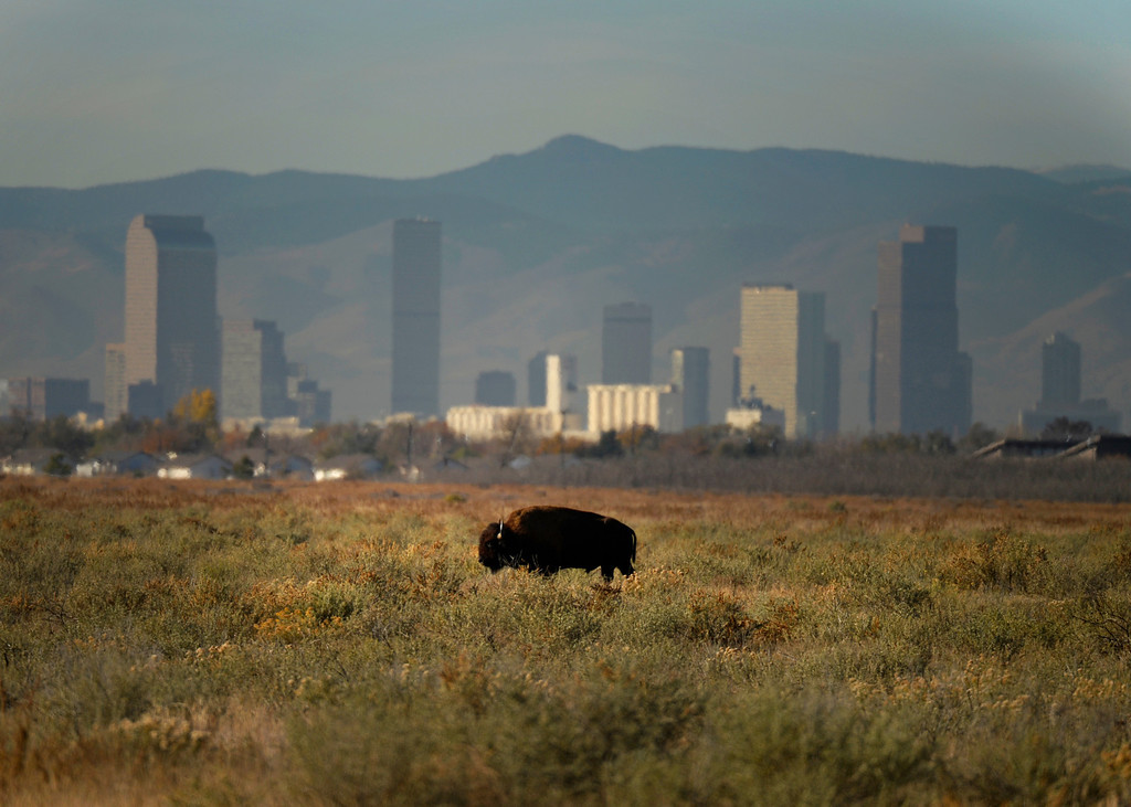 . COMMERCE CITY, CO - NOVEMBER 07: With downtown Denver in the background a bison grazes at Rocky Mountain Arsenal National Refuge, November 07, 2013. The bison breeding program at Rocky Mountain Arsenal National Refuge is getting too big and they plan to rounding up 25 percent of them in December.  (Photo By RJ Sangosti/The Denver Post)