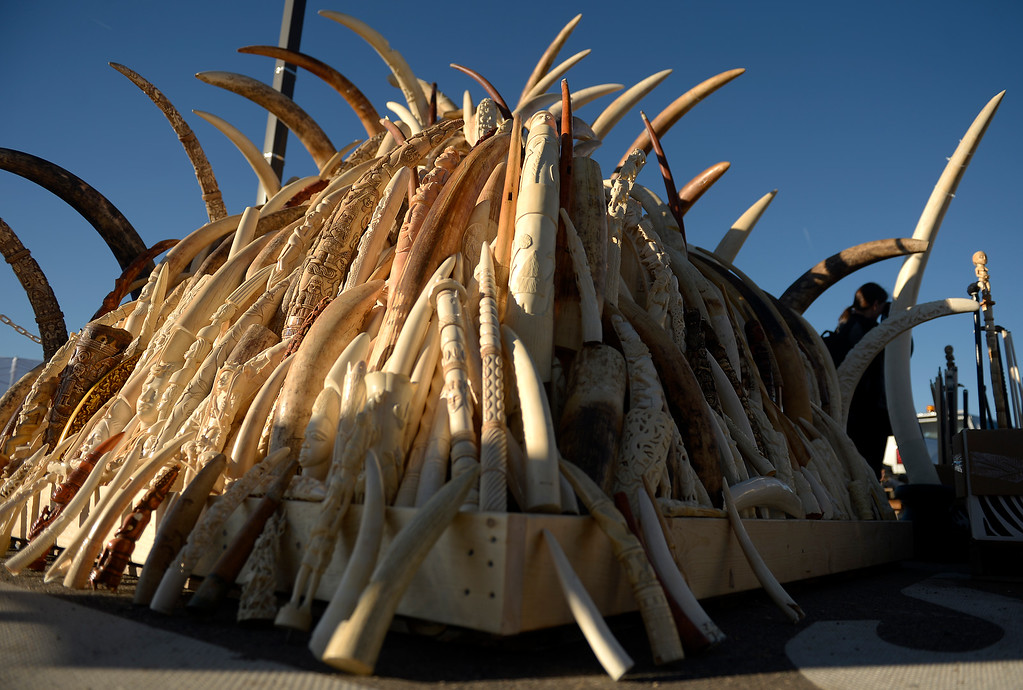 . Ivory tusks the US Fish and Wildlife service, at the direction of President Obama, will be crushed at the Rocky Mountain Arsenal Wildlife Refuge in effort to stymie the illegal taking of wildlife November 14, 2013 Commerce City, CO. (Photo By Joe Amon/The Denver Post)