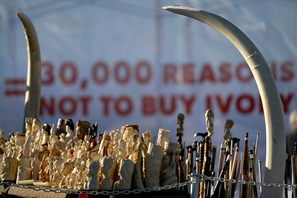 . Ivory figures the US Fish and Wildlife service, at the direction of President Obama, will be crushed at the Rocky Mountain Arsenal Wildlife Refuge in effort to stymie the illegal taking of wildlife November 14, 2013 Commerce City, CO. (Photo By Joe Amon/The Denver Post)