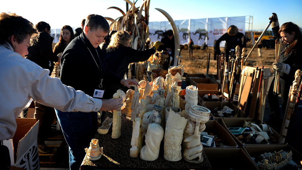 . Members of US Fish and Wildlife set up ivory that will be crushed at the Rocky Mountain Arsenal Wildlife Refuge in effort to stymie the illegal taking of wildlife November 14, 2013 Commerce City, CO. (Photo By Joe Amon/The Denver Post)