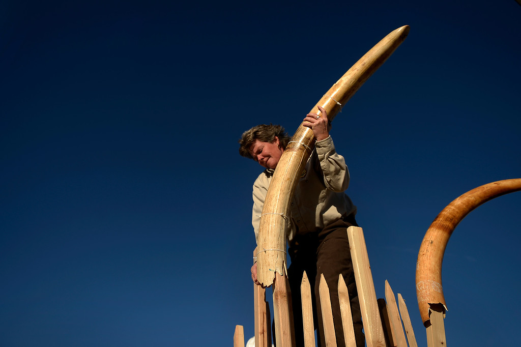. Tracy Ellis , wildlife inspector at DIA loading the last tusks as the US Fish and Wildlife service, at the direction of President Obama, crushed tons of ivory at the Rocky Mountain Arsenal Wildlife Refuge in effort to stymie the illegal taking of wildlife November 14, 2013 Commerce City, CO. (Photo By Joe Amon/The Denver Post)