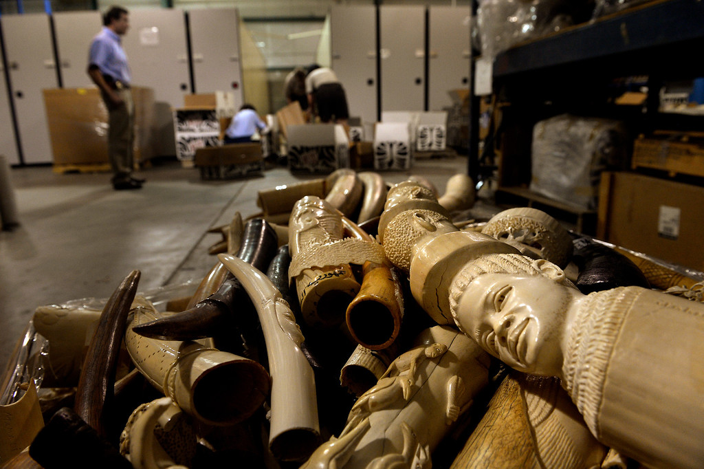 . COMMERCE CITY, CO. - September 09: Raw, polished and carved tusks will be part of an estimated 6 tons of confiscated ivory that will be crushed in November by the U.S. Fish & Wildlife Service at the The Rocky Mountain Arsenal National Wildlife Refuge as a first global push by the United States to stop the illegal ivory trade. September 09, 2013 Commerce City, Colorado. (Photo By Joe Amon/The Denver Post)