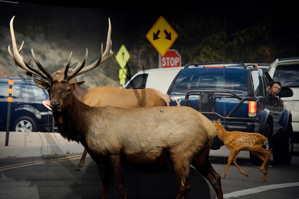 """. DENVER, CO. - NOVEMBER 15:  An elk and photo mural are displayed in the Living West exhibit at the  History Colorado Center in Denver, CO November 15, 2013. The 7,000-square-foot exhibit opens November 23 and and is divided into three sections, Mesa Verde, the Dust Bowl and Our Mountains. The displays explores human interation with wildlife and poses the question, \""""what does it mean to be good neighbors?\"""" (Photo By Craig F. Walker / The Denver Post)"""