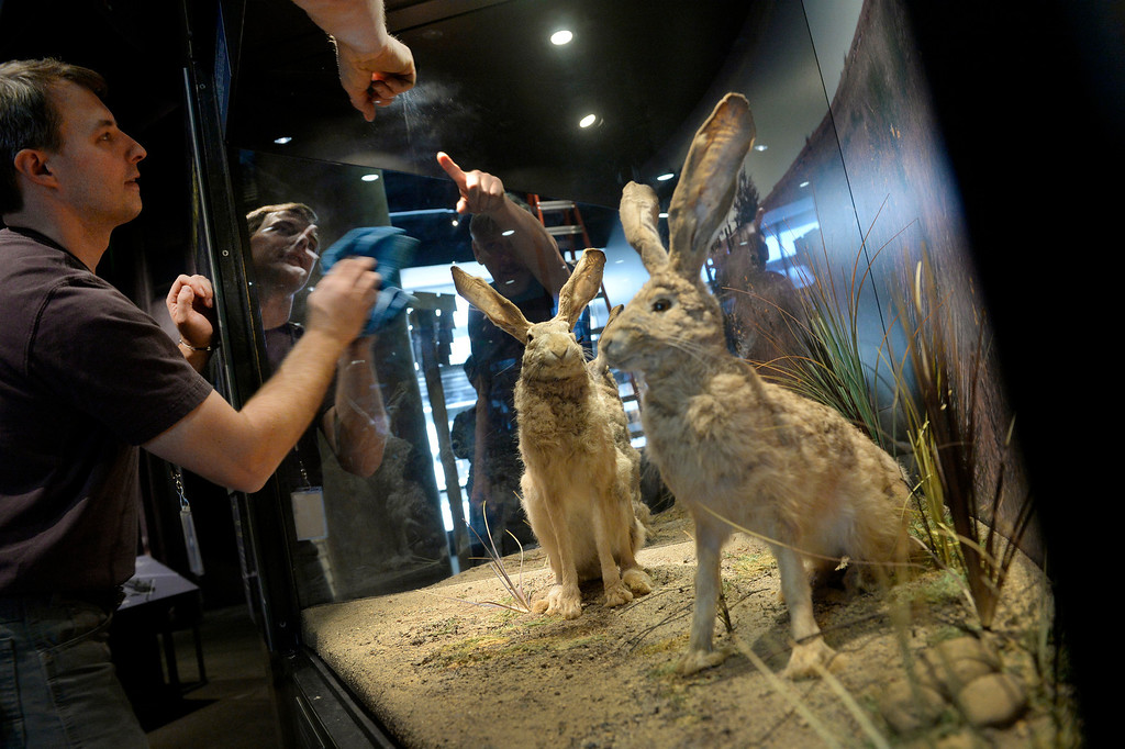 . DENVER, CO. - NOVEMBER 15: Mark Anderson   prepares a jackrabbit display in the Living West exhibit at the  History Colorado Center in Denver, CO November 15, 2013. The 7,000-square-foot exhibit opens November 23 and and is divided into three sections, Mesa Verde, the Dust Bowl and Our Mountains. The jackrabbit population exploded when Colorado farmers first plowed the plains. (Photo By Craig F. Walker / The Denver Post)
