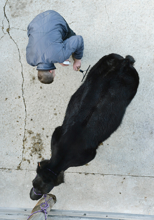 . DENVER, CO. - JANUARY 15: Mark Benes used a comb to groom a Maine-Anjou heifer before sale in the stockyards at the National Western Stock Show Wednesday afternoon, January 15, 2014. Photo By Karl Gehring/The Denver Post