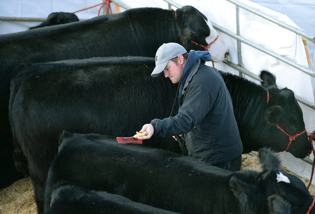 . DENVER, CO. - JANUARY 15: Andy Stevens used a comb and an electric trimmer to groom a number of Simmental bulls inside the stockyards on the National Western Stock Show grounds Wednesday afternoon, January 15, 2014. The stock show continues through January 26. Photo By Karl Gehring/The Denver Post