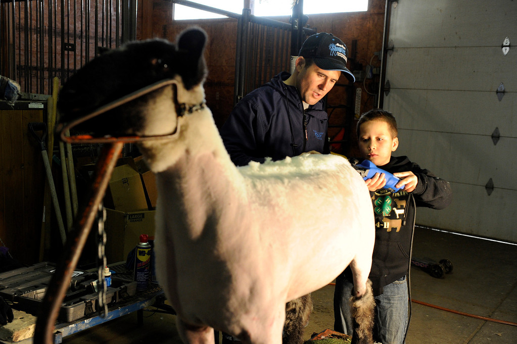 . BENNETT, CO - JANUARY 16: David Vetter, 9, shears Groovy the sheep, with the help of his father, Greg, at their family farm on January 16, 2014, in Bennett, Colorado. David participated in his first National Western Stock Show this year, showing four sheep. The Stock Show continues through January 26. (Photo by Anya Semenoff/The Denver Post)