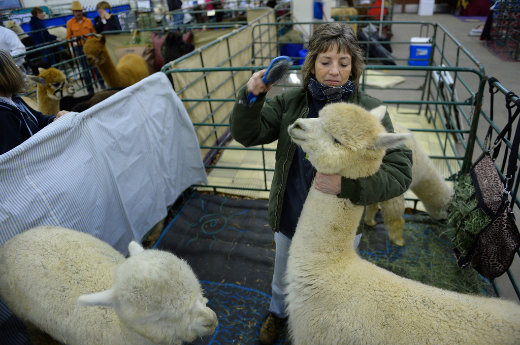. DENVER, CO. - JANUARY 10: Michele Rubio-Eickhoff used a brush to clean hay out of the fiber of one of her alpacas that she will show this weekend at the stock show. The National Western Stock Show starts Saturday, January 11, 2014. Photo By Karl Gehring/The Denver Post