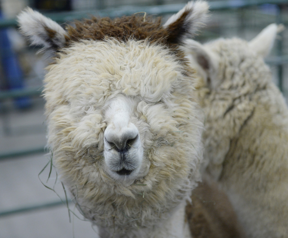 . DENVER, CO. - JANUARY 10: A Huacaya Alpaca waited for a trim after arriving at the stock show grounds Friday afternoon. The 22-month-old male is going to be shown by owner Susan Kacsh of Hesperus, Colorado. The National Western Stock Show starts Saturday, January 11, 2014. Photo By Karl Gehring/The Denver Post