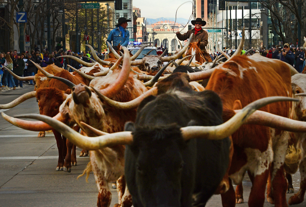 . DENVER, CO - JANUARY 9, 2014: Texas longhorns, belonging to Stan Searle, are the main attraction during the  National Western Stock Show Parade as the group of about 30 make their way 17th street  in Denver, Co on January 9, 2014.  The National Western Stock Show Kick-Off Parade featured Longhorn cattle herded through the streets of downtown Denver, along with bands, horses, floats, cowboys and rodeo queens. The parade started at noon at Union Station in Lower downtown Denver and headed up 17th street.   The annual National Western Stock Show runs Jan. 11-26. Schedules and ticket information is available at NationalWestern.com.  (Photo By Helen H. Richardson/ The Denver Post)