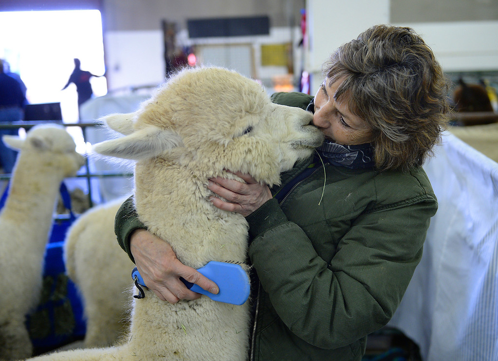 . DENVER, CO. - JANUARY 10: Michele Rubio-Eickhoff showed some love an alpaca named San Souci\'s Topaz, a two-year-old male that had some hay in his fiber Friday afternoon. Rubio-Eickhoff will be showing her alpacas at the stock show this weekend. The National Western Stock Show starts Saturday, January 11, 2014. Photo By Karl Gehring/The Denver Post