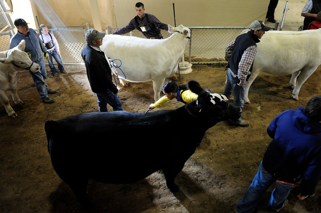 . Breeders and owners gather for the National Western Stock Show on Jan. 19 at the Denver Coliseum to show their bulls and heifers. Photo by Jamie Cotten, Special to The Denver Post