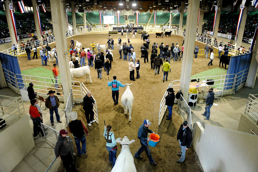 . Breeders gather for the National Western Stock Show on Jan. 19 at the Denver Coliseum to show their bulls and heifers. Photo by Jamie Cotten, Special to The Denver Post