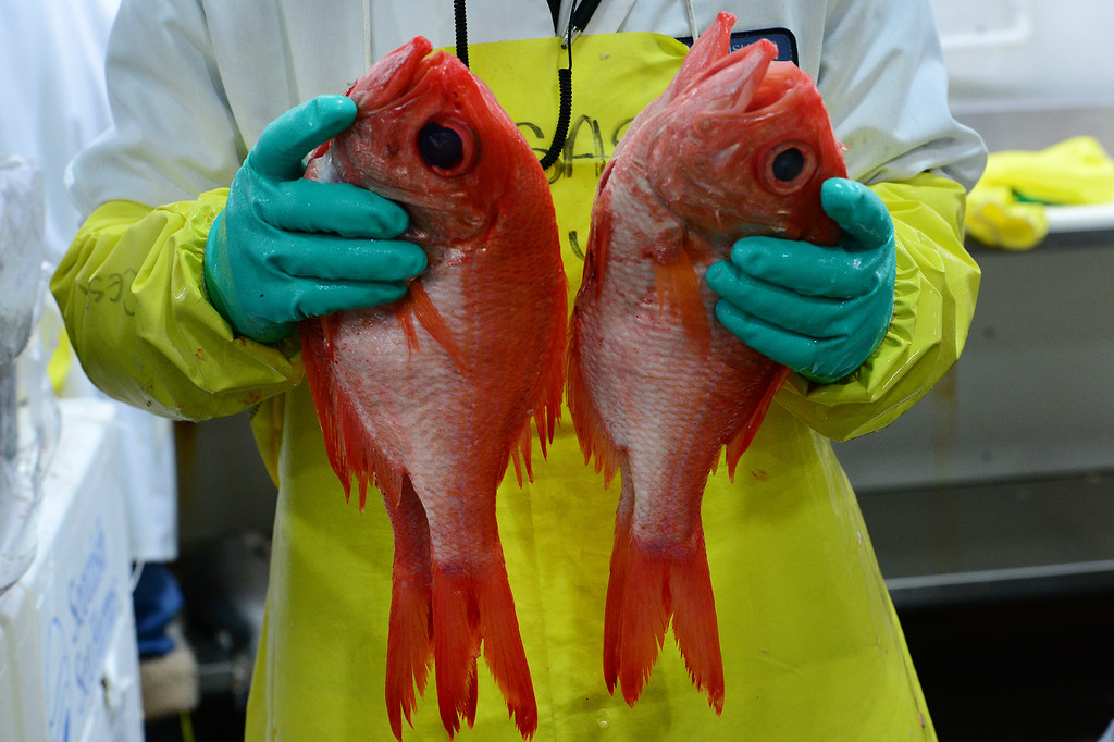 . Cesar Marquez shows off the fresh and beautiful red snapper from New Zealand just delivered this morning at Seattle Fish Company in Denver on April 17, 2014.  The company processed 10 million pounds of fish last year at their facility. (Photo By Helen H. Richardson/ The Denver Post)