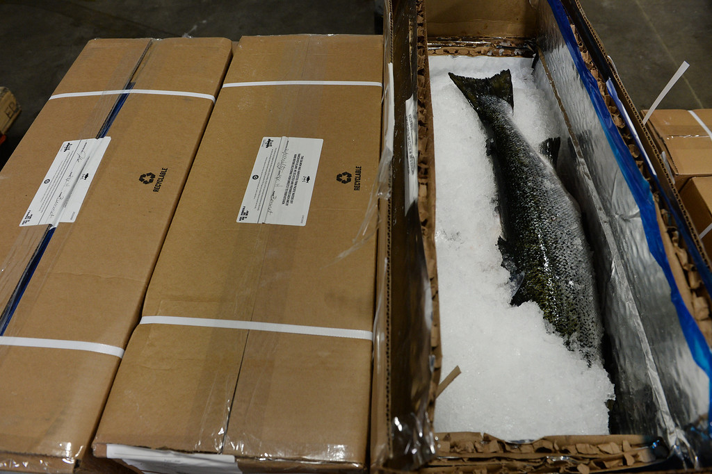 . Salmon arrives packed in ice in the morning at Seattle Fish Company in Denver on April 17, 2014.  The company processed 10 million pounds of fish last year at their facility. (Photo By Helen H. Richardson/ The Denver Post)